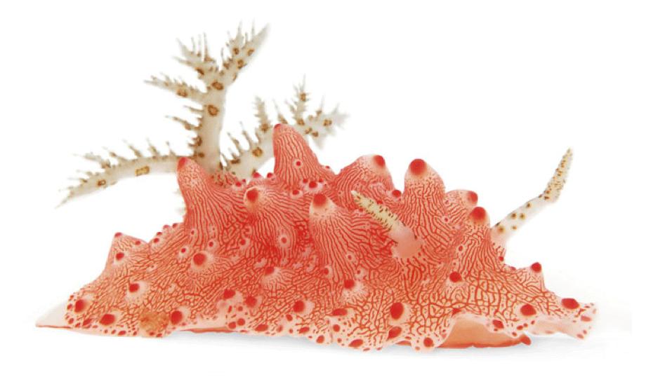 nudibranch, nudibranquio, rojo, naranja
