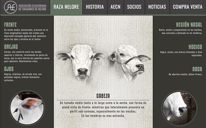 Nelore, Asociacion Ecuatoriana de Criadores Nelore, Ganado, Vacas, Diseño Web, Web, diseño, oruga, 4studio
